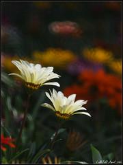 滿園春色 (LoBsTeRbig) Tags: white flower bokeh m42 gazania ep1 植物園 czj13535 勳章菊 card6 p4069081 shapedbokeheffect