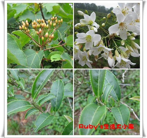 2010年油桐花 (12)