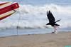 TroubleGainingAltitude (mcshots) Tags: california usa bird beach birds trash neck coast losangeles stock flight strangle socal plasticbag crow mcshots twisted