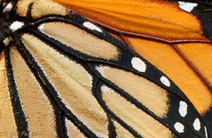 Monarch (Danaus plexippus) abstract close-up (Paul Hueber) Tags: orange white abstract black macro texture nature closeup canon butterfly insect florida wildlife lepidoptera monarch handheld seminolecounty danaus plexippus altamontesprings centralflorida danausplexippus musicarver
