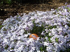 Easter Egg in the Phlox