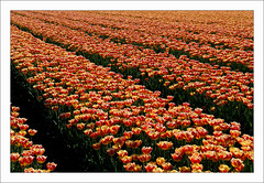 On The Road to Anna Paulowna (bruxelles5) Tags: holland flying tulips flight thenetherlands hollande cesna bulbflowers northholland annapaulowna tulipsfields cesna172