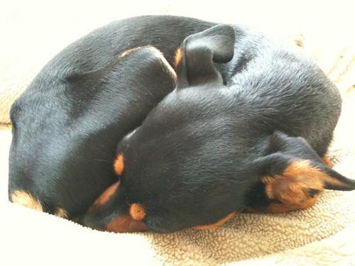 眠気を覚ますために黒犬にちょっかいをかけようと思ったら、ちょーコンパクトになってた。
