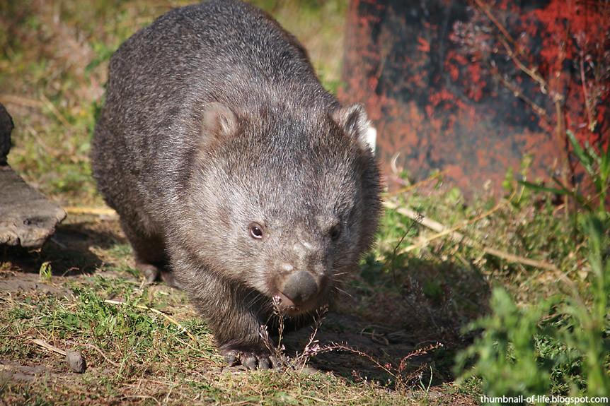 Cutey Wombat
