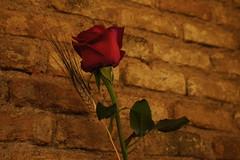 Rosa (marimbajlamesa) Tags: pink red plant flower brick ladrillo verde rot planta hoja leave cup fleur saint rose wall pared george petals rojo bricks flor rosa vert petal vermelho hibiscus tulip hibisco mao vase vermell bouquet ram jordi ramo rosso sant greeen copa paret vaso vegetal tulipa feuille verd tulipe fulla vas toxo petalo tulipan rosado espiga roig 2011 rosat petale rameau totxo marimbajlamesa