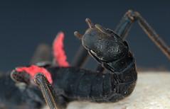 Peruphasma schultei (Samtschrecke) (Celimaniac) Tags: macro insect nikon d2x makro phasmiden peruphasma schultei samtschrecke