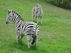 Lego zebra (allyhook) Tags: lego berkshire legolandwindsor seenonflickr