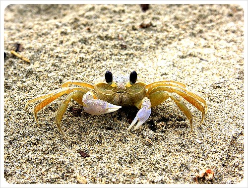crab in cahuita