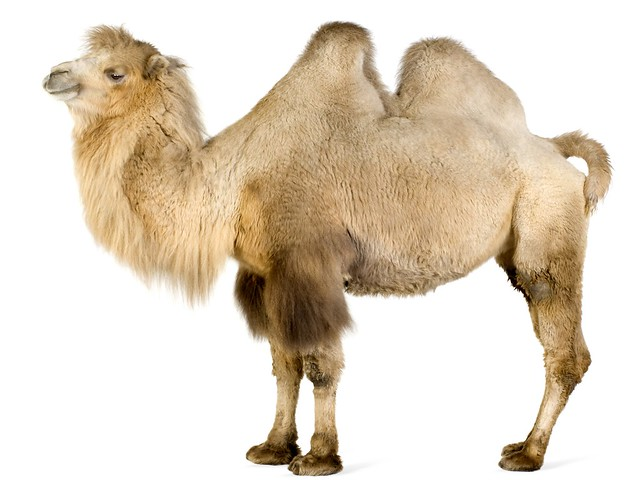 camel-on-white-wallpapers_13234_2560x1920