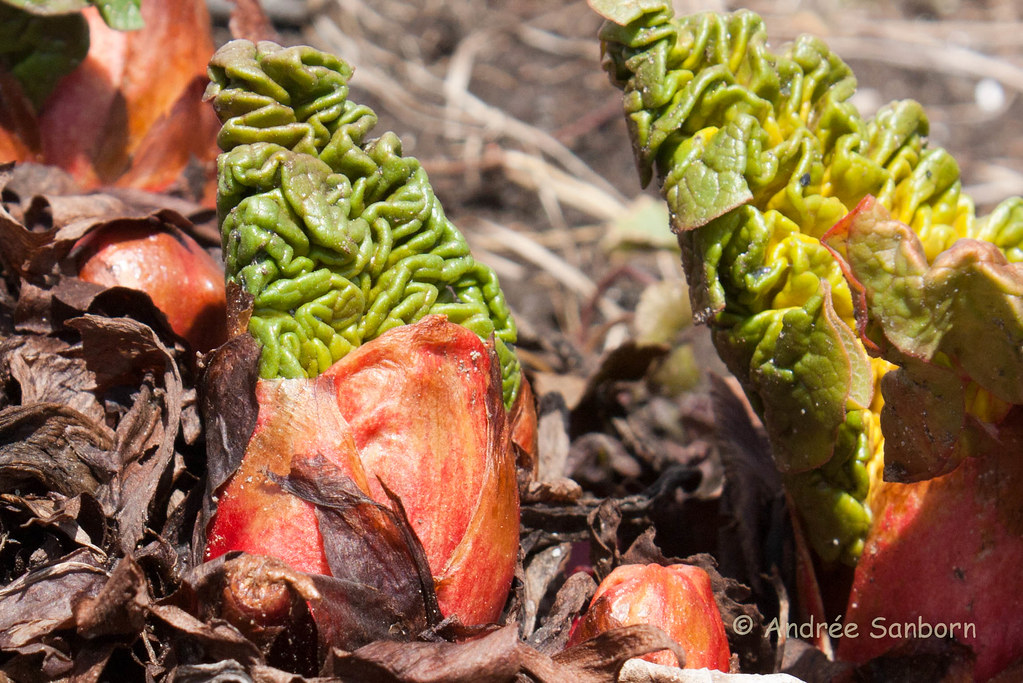Rhubarb leaves unfolding (5 of 14).jpg