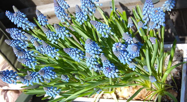 Muscari for Mom