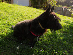 dog pet black cute grass puppy fluffy whisky scottishterrier