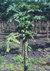 b_def_papaya_4 (Scot Nelson) Tags: hawaii papaya pests boron diseases deficiency carica