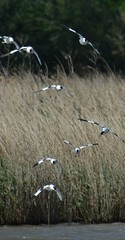 Avocets (GemElle Photography - off & on sorry) Tags: blue water grass wow fly flying amazing cool bed wings nikon beds elle flight beak bank flies splash sands flap banks gem blacktoft d3100 gemelle1