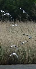 Avocets (GemElle Photography) Tags: blue water grass wow fly flying amazing cool bed wings nikon beds elle flight beak bank flies splash sands flap banks gem blacktoft d3100 gemelle1