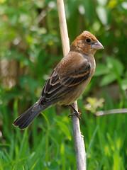 Blue Grosbeak (Billtacular) Tags: bird nature outdoors newjersey spring wildlife birding nj migration birdwatching thewonderfulworldofbirds