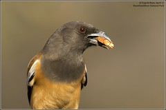 Rufous Treepie fed by tourists (Yogesh's Passion) Tags: show from food bird birds that this other hands pattern any tourists best changing human same knowledge they these does now bold snatch intervention behaviour rufous jungles ranathambhore treepies