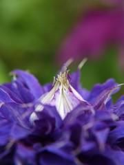 Eruption (tanakawho) Tags: plant flower nature dof purple bokeh clematis pistil petal stamen tanakawho