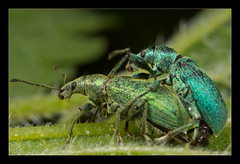 Green & Blue (Moneycue) Tags: black macro green nature netherlands closeup canon spring europe blu may explore nettle weevil brandnetel explored phyllobiuspomaceus partyfearstwo greennettleweevil moneycue