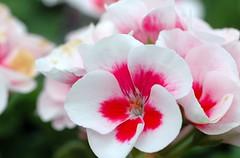 blushing (petalpusher61) Tags: pink ohio white flower nature nikon bokeh fantasticflower