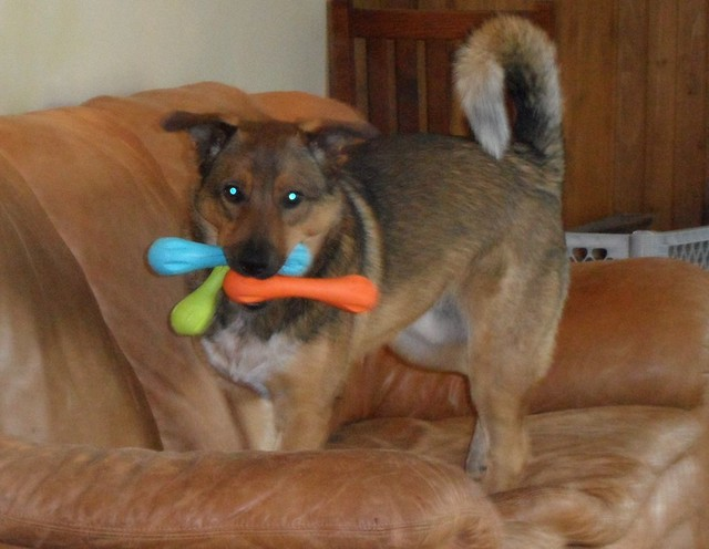 Denny with three chew toys