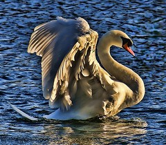 beauty (Ronnie jimmy) Tags: swans rons