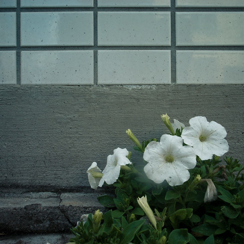 White Tile, White Flower