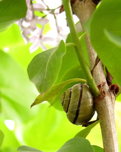 Snail in lilac tree
