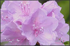 Rhododendron, special version (GSAndr) Tags: flowers red white plant flower macro tree netherlands nikon niceshot purple den special rhododendron micro te haag 105mm purper zuiderpark d90 boekhorst superstarthebest doublyniceshot mygearandme gsandr ringexcellence ringofexcellence dblringexcellence