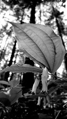 Looking Up From the Forest Floor (Paul T. Marsh/PositivePaul) Tags: leica stilllife flower nature forest blackwhite leaf foliage pointandshoot wwwpaulmphotographycom paulmarshphotography leicadlux4 dlux4