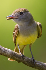 _53F8301 Great Crested Flycatcher (~ Michaela Sagatova ~) Tags: bird nature flycatcher greatcrestedflycatcher myiarchuscrinitus birdphotography michaelasagatova
