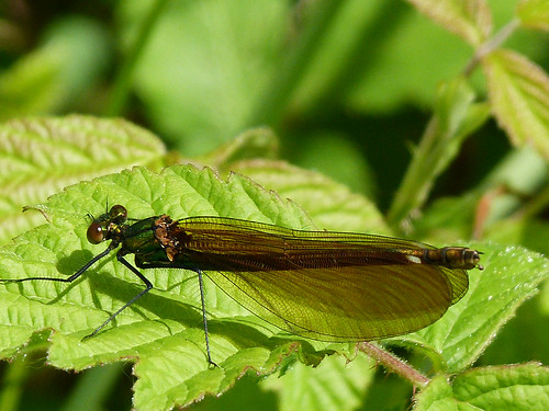 Beautiful Demoiselle (Calopteryx virgo) by Peter Orchard