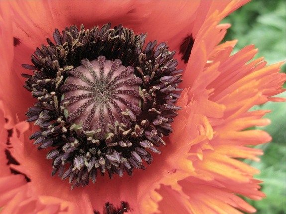 red poppy oriental