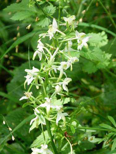 Greater Butterfly Orchid (Platanthera chlorantha) by Peter Orchard