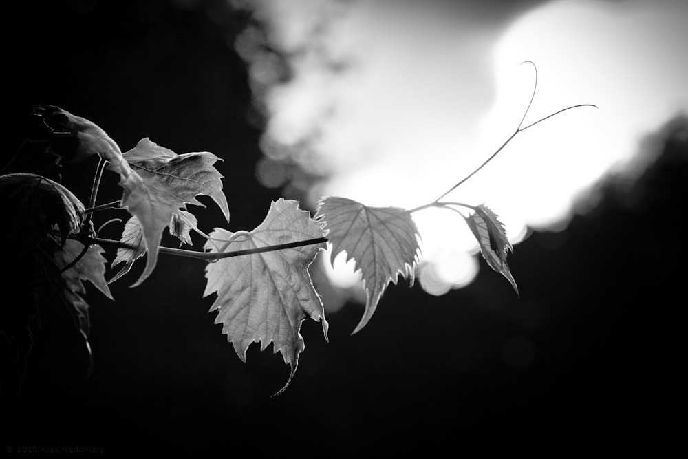 Grape © 2010 Alex Nedoviziy