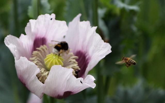 abeille et bourdon sur du pavot