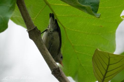 Tickell's flowerpecker