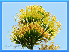 Agave desmettiana (Smooth Agave, Smooth/Dwarf Century Plant): closeup of its topmost flowers - June 9 2011