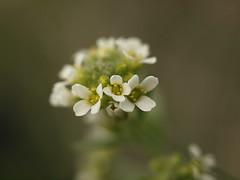 Stinkweed - Thlaspi arvense - white (George Dixon) Tags: wild canada flower macro calgary alberta tuscany stinkweed thlaspiarvense thlaspi pennycress twelvermilecoulee twelvermilecouleepark