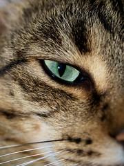 Sammy's eye (Detlev W.) Tags: olympus makro cateye eyesammy