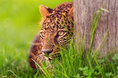 Hiding behind the log... (Tambako the Jaguar) Tags: wood wild portrait beautiful face grass cat zoo switzerland big log eyes nikon funny watching leopard mast hiding lying rothenburg stalking tonis d700 peregrino27life