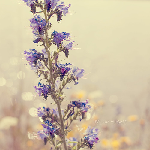 Echium Vulgare by ~ Maria ~ (on vacation)
