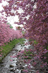(joannamanning) Tags: pink flower green nature water stone river cherry spring stream blossom cherryblossom cherrytree