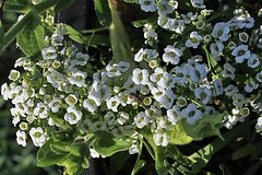 Blooms Of Sweet Alyssum 002 (Chrisser) Tags: flowers summer ontario canada nature garden gardening fourseasons closeups brassicaceae sweetalyssum flowerfactory lobulariamaritima canonefs1855mmf3556islens canoneosrebelt1i