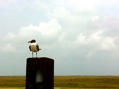 The Laughing Gull of South Padre Island (Phoneography Pilgrim) Tags: bird texas post 365 minimalism impression southpadreisland cliches hcs laughinggull perfectphoto i365 iphone4 minimalisticlandscape iphone365 i365project phoneographypilgrim
