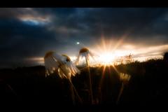 Changing to Sleep Mode (memories-in-motion) Tags: sunset shadow cloud white flower green yellow night twilight day sonnenuntergang blossom horizon natur illumination wolken eifel sunburst s1 dmmerung landschaft schatten kamille horizont gegenlicht landscapephotography vulkaneifel landschaftsfotografie viewonblack