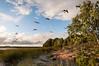 (MiiaToivonen) Tags: goose hanhi kanadan hahni canadan kuusiluoto lammassaari helsinki suomi finland nature luonto ocean meri merenranta kallio evening ilta iltaaurinko kesä summer lintu bird parvi flock lintuparvi lentää fligh