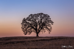 Winter's Eve - Sacramento County, California (Tactile Photo | Greg Mitchell Photography) Tags: loneoak calm center evening clean simple magenta january peace silhouette tree sacramentocounty pink winter bluesky sacramento california 2014 lonetree sunset oaktree