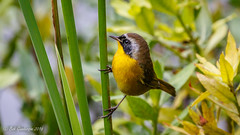 Common Yellowthroat (Bob Gunderson) Tags: birds california commonyellowthroat geothlypistrichas goldengatepark northlake northerncalifornia sanfrancisco warblers woodwarblers
