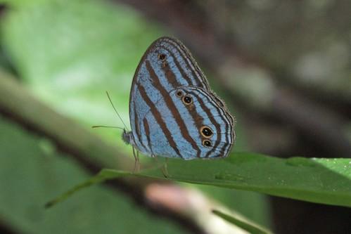 Cepheuptychia cephus (female)